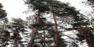 Çam Ağaçları Görenleri Şaşırttı