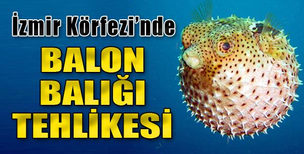 İzmir Körfezi'nde Balon Balığı Tehlikesi