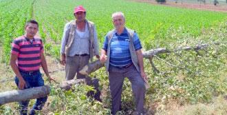 Köyde 10 Çınar Ağacının Kesilmesine Tepki