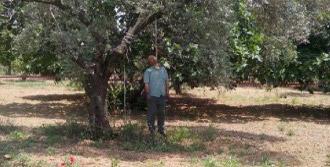 İzinli Mahkum, Kendini Zeytin Ağacına Astı