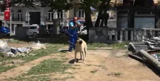 Gezi Parkı'ndaki Köpekler İğneyle Bayıltılarak Toplandı