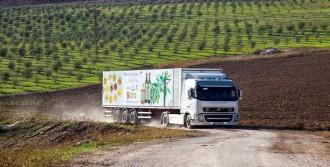 Zeytinin Gen Haritası Çıkartılıyor