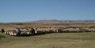 140 Bin Hayvan Muş'a Dönüyor