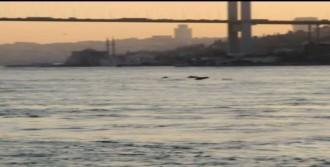 İstanbul Boğazı'na Yunus Akını