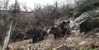 İstanbul'da Domuz Sürüsü Korkuttu