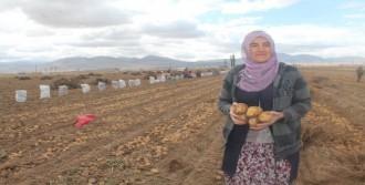 Kadın Çiftçilerin Patatesleri Hasat Edildi