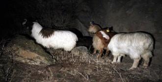 Keçileri AKUT Kurtardı