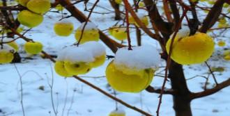 Elma Ağaçlarında Kar Güzelliği