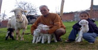 Keçi Beşiz Doğurdu
