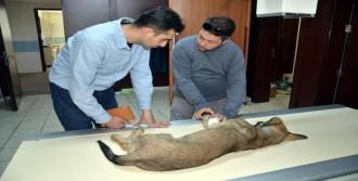 Kedi Ve Köpeğe Protez Bacak