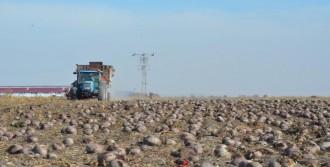Konyalı Çiftçilerden Kırmızı Pancar Tarımı