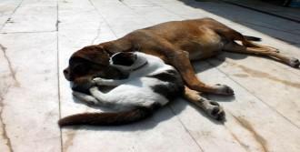 Köpek, Kedi Yavrusunu Emziriyor