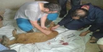 Köpeklerin Saldırdığı Yavru Karacaya Tedavi