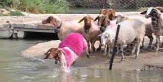 Koyunlar Çobanları Takip Etmedi