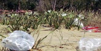 Kum Zambakları Tehlikede