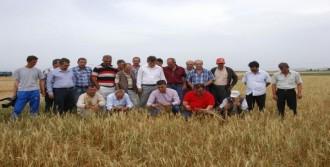 Buğday Hasadı Erken Başladı
