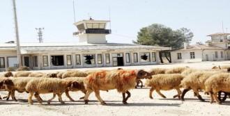 Kurbanlık Develer Eski Havaalanı Pistinde