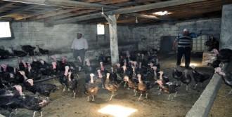 Kurduğu Çiftlikte Organik Hindi Yetiştiriyor