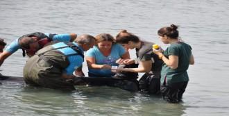 Kuyruğundan Yaralı Yunus Tedavi Edilerek Denize Bırakıldı