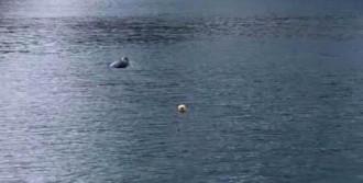 Marmara'da Akdeniz Foku Görüldü