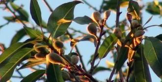 Marmaris'te Badem Ağaçları Şaşırttı