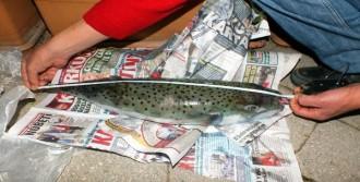 Balon Balığı Artışı Tedirginlik Yarattı