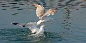 Martıların Balık Kapma Savaşı