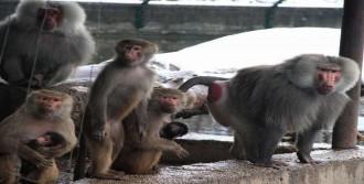 Maymunların Kar Şaşkınlığı