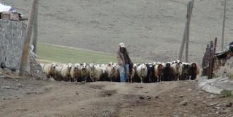 Koyunlarla Kuzuların Buluşması