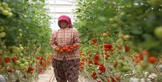 Mersin'de Domates Üreticisinin 'Rusya' Endişesi