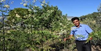 'Mucize Ağaç' Moringa Demre'de Yetiştirildi