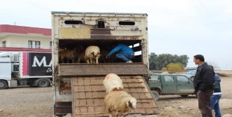 Genç Çiftçilere 185 Koyun Hibe Edildi