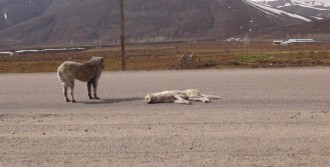 Ölen Köpeğin Yanından Ayrılmadı