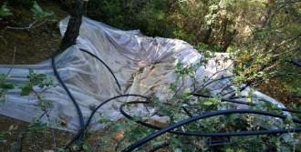 Ormanda Hintkeneviri Yetiştirirken Yakalandı