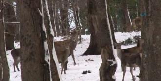 Ormandaki Geyikler İçin Yiyecek Bırakıldı