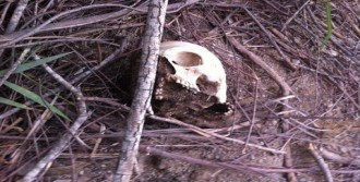 Ormanlık Alanda  Kafatası Bulundu