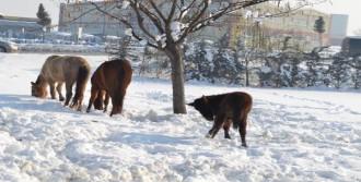 Atlar Karda Aç Kaldı