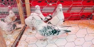 Şanlıurfa'da En Güzel Güvercinler Kanat Çırptı