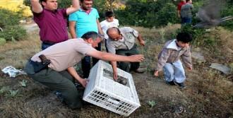 Sarıgöl'de Doğaya Bin Keklik Salındı