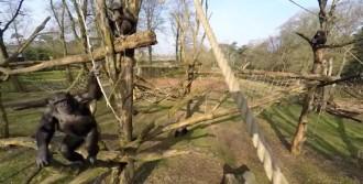 Şempanze İnsansız Hava Aracını Düşürdü