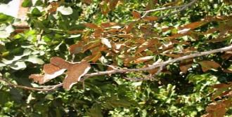 Sıcaklar Ceviz Ağaçlarını Kurutuyor