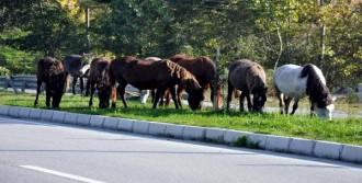 Terme'de Yılkı Atları İçin Proje