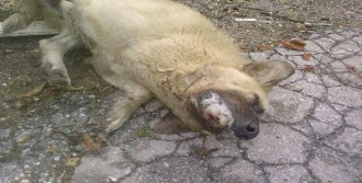 3 Köpek ve 2 Kedi Zehirli Yiyecekle İtlaf Edildi