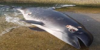 Öldürülen yunus kıyıya vurdu