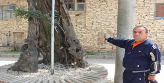 Uşak'taki Çıtlık Ağacı 560 Yıldır Ayakta
