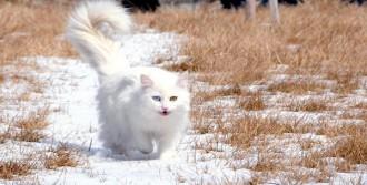 Van Kedilerini Çiftleştirmenin Bedeli 10 Lira