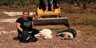 Yalova'da 5 Köpek Zehirli Etle Öldürüldü