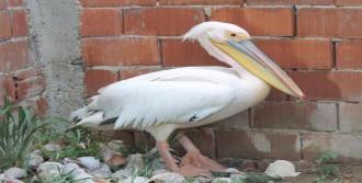 Yaralı Pelikan Tedavi Altına Alındı