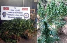 Ormanda Hint keneviri yetiştiren damat ve kayınpederine gözaltı