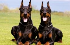 Köpeklerde Dirsek Eklem Uyuşmazlığı